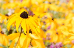 Field of yellow coneflowers. Rudbeckia fulgida royalty free stock images