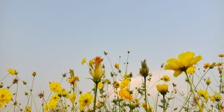 Yellow cosmos flowers under blue sky royalty free stock images