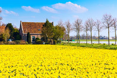 Field with yellow daffodil flowers blooming in spring Royalty Free Stock Photos