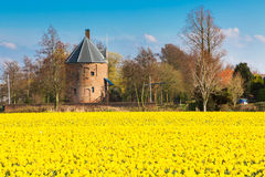 Field with yellow daffodil flowers blooming in spring and old mill Stock Photo