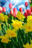 Field of  yellow daffodil  in Holland , spring time colourful flowers. Field and yellow daffodil in Holland , spring time royalty free stock image