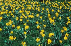 Field of Yellow Daffodils. A field of yellow Daffodils in green grass Royalty Free Stock Photography