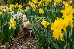Field of Yellow Daffodils Stock Photography