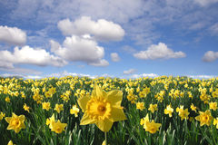 Field of yellow daffodils Stock Images