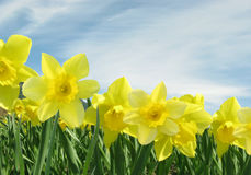 Field of Yellow Daffodils. With Blue Sky Royalty Free Stock Photo