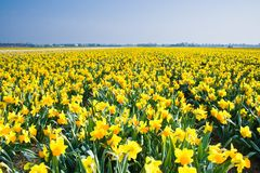 Field with yellow daffodils in april Royalty Free Stock Photo