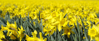 Field with yellow daffodils in april Stock Images