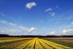 Field of yellow daffodils under a blue sky Royalty Free Stock Photos