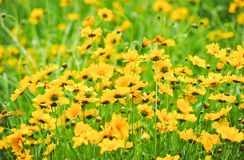 Field of yellow daisies Royalty Free Stock Photos
