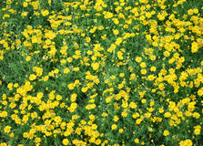 Field of yellow daisies Stock Photography