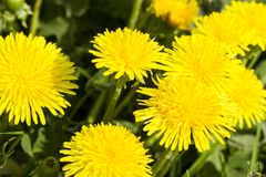 Gentle soft yellow dandelions in the meadow. stock image