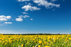 Field of yellow dandelions against the blue sky. Stock Photo