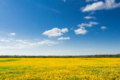 Field of yellow dandelions against the blue sky. Royalty Free Stock Photo