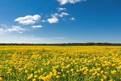 Field of yellow dandelions against the blue sky. Stock Photos