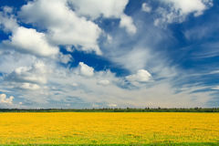 Field of yellow dandelions against the blue sky. Stock Photography