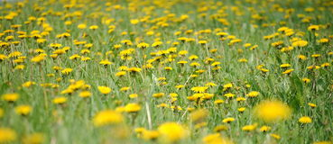 Field of yellow dandelions royalty free stock photography
