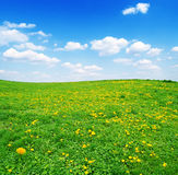 Field of yellow dandelions and blue cloudy sky Royalty Free Stock Image