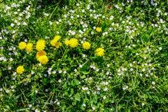 Field with yellow dandelions closeup Stock Photo