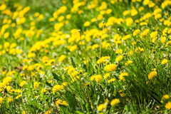 Field with yellow dandelions closeup Stock Images