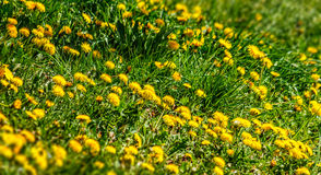 Field with yellow dandelions closeup. Shoot with shallow depth of field Royalty Free Stock Photos