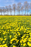 Field of yellow dandelions in grass with tree line Stock Photos