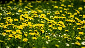 Field of yellow Dandelions and green grass stock image
