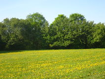 Field of yellow dandelions and green trees Stock Photography