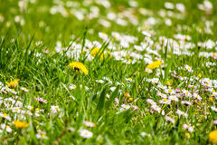 Field with yellow dandelions and little white chamomile. Closeup shoot with shallow depth of field Royalty Free Stock Photography