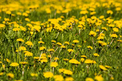 Field of yellow dandelions Royalty Free Stock Images