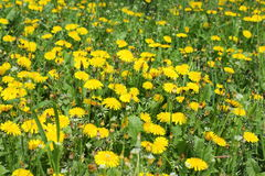 field with yellow dandelions stock photo