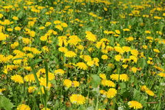 Field with yellow dandelions stock photography