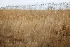 Field with yellow ears against a cloudly sky stock images