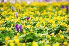 Field of yellow and  few purple flowers in beginning of spring Stock Photos