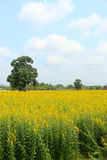Field or yellow field Stock Photo
