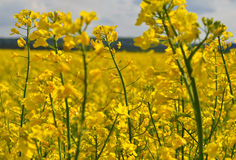 Field with yellow flower. Field in blossom, spring season Royalty Free Stock Image