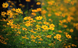 Field of yellow flower  meadow Royalty Free Stock Photo
