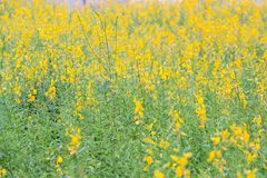 The yellow flower of Pummelo. The field of yellow flower of Pummelo Stock Images