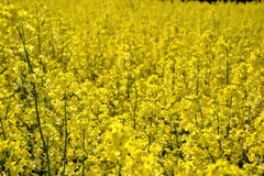 Field of yellow flowering oilseed rape  on a cloudy blue sky in springtime (Brassica napus), Blooming canola Royalty Free Stock Photo