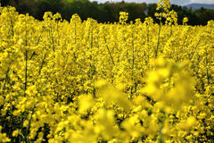 Field of yellow flowering oilseed rape  on a cloudy blue sky in springtime (Brassica napus), Blooming canola Royalty Free Stock Images