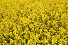 Field of yellow flowering oilseed rape  on a cloudy blue sky in springtime (Brassica napus), Blooming canola Royalty Free Stock Photography