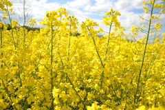 Field of yellow flowering oilseed rape  on a cloudy blue sky in springtime (Brassica napus), Blooming canola. Rapeseed plant landscape. Slovakia Stock Photos