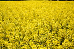 Field of yellow flowering oilseed rape  on a cloudy blue sky in springtime (Brassica napus), Blooming canola. Rapeseed plant landscape. Slovakia Royalty Free Stock Photography