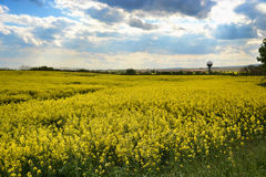 Field of yellow flowering oilseed rape  on a cloudy blue sky in springtime (Brassica napus), Blooming canola. Rapeseed plant landscape. Slovakia Stock Images