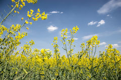 Field of yellow flowering oilseed  on a cloudy blue sky in springtime (Brassica napus), Blooming canola Royalty Free Stock Images