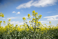 Field of yellow flowering oilseed  on a cloudy blue sky in springtime (Brassica napus), Blooming canola Royalty Free Stock Photo