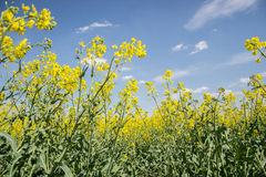 Field of yellow flowering oilseed  on a cloudy blue sky in springtime (Brassica napus), Blooming canola Royalty Free Stock Photography