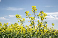 Field of yellow flowering oilseed  on a cloudy blue sky in springtime (Brassica napus), Blooming canola Stock Photos