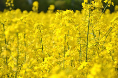 Field of yellow flowering oilseed rape isolated on a cloudy blue sky in springtime (Brassica napus), Blooming canola Stock Photos