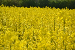 Field of yellow flowering oilseed rape isolated on a cloudy blue sky in springtime (Brassica napus), Blooming canola Stock Photography