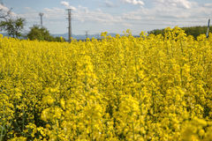Field of yellow flowering oilseed rape isolated on a cloudy blue sky in springtime (Brassica napus), Blooming canola Royalty Free Stock Photography